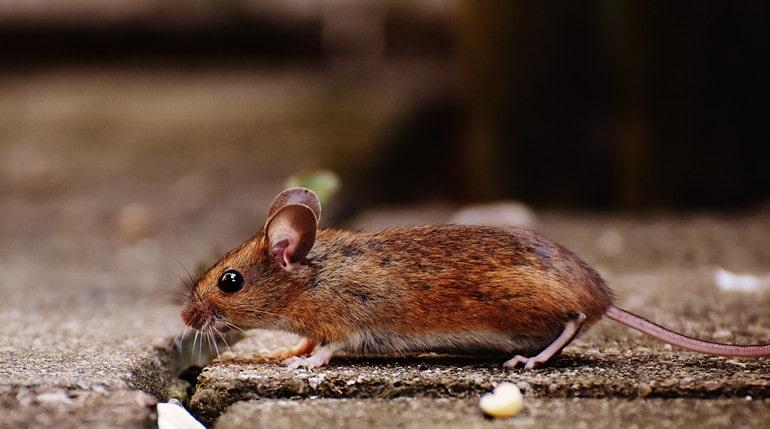 Attracts Mice