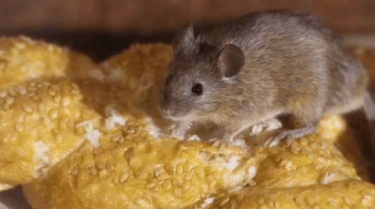 natural mouse repellents