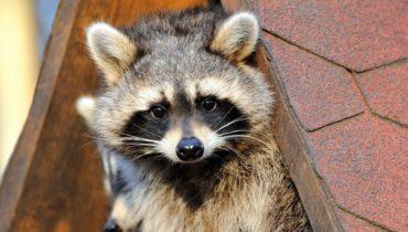common nuisance animals in oklahoma