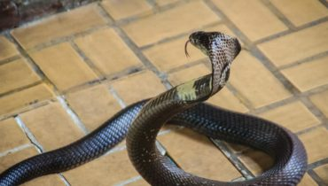 snakes get into attic